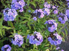 Phlox Garden Phlox Paniculata Blue Boy De Groot Inc