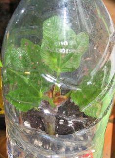 Bouturer un figuier - février Container Gardening, Gardening Tips, Garden Online, Permaculture Design, Fig Tree, Botany, Botanical Gardens, Compost, Agriculture