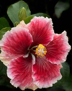 Cajun Hibiscus beautiful I don't have this one but I have a double salmon colored one that is still blooming in the greenhouse.