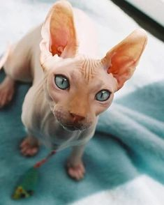 Meet Sphynx Cats – the Most Adorable Hairless Felines Meet Sphynx Cats – the Most Adorable H. Baby Animals, Funny Animals, Cute Animals, Cute Hairless Cat, I Love Cats, Cute Cats, Oriental Shorthair Cats, Cat Icon, Sphinx Cat