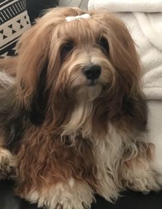 The many things we admire about the Smart Havanese Pup Havanese For Sale, Havanese Puppies, Havanese Grooming, Puppy Grooming, Puppy Haircut, Dog Haircuts, Dog Diet, Dog Facts, Companion Dog
