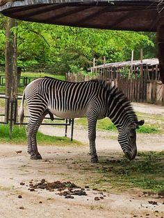 Gevy Zebra