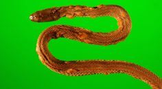 A northern water snake (Nerodia sipedon), which was captured in 2009 from an island in western Lake Erie, Ohio. The snake has crusty and thickened scales over raised blisters, a result of snake fungal disease.<br />