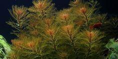 Myriophyllum%20tuberculatum-3_zpsnr7ifwi