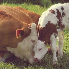 Boycott #dairy so calves are not ripped away from their mothers and turned into veal.