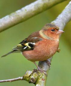 Découvrez le pinson des arbres. #oiseau #jardin #Pinson