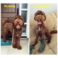 So @mrrockwell_the_doodle 's bday #DoodleRomp is This Saturday and I didn't want him to feel odd being the only dandelion  so I got a matching   and also I didn't want to be the slow one either  so had to shed the 30lbs of fur! Btw I now wear #UGGS  #tbt to this morning by grizzlythedoodle