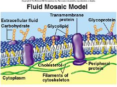 Fluid Mosaic Model - Cell Membrane    Feels like I could recite this.. lol