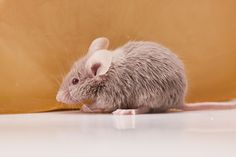 Mice are cute and all but no one wants to have mice in their home. If you're trying to get rid of mice try this DIY mouse repellent. It's safe for kids and pets too! Diy Mice Repellent, Getting Rid Of Rats, House Mouse, Pet Safe, Pest Control, Animals For Kids, Cleaning, Ideas, Vinegar
