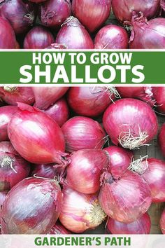 Shallots are a type of onion that has a sweet, mild flavor beloved of fine-dining chefs that can be difficult to find in the grocery store. Why not grow your own? Discover how to plant and grow gourmet shallots in your garden now with this guide from Gardener's Path. #shallots #vegetablegardening #gardenerspath Garden Seeds, Fruit Garden, Edible Garden, Gardening For Beginners, Gardening Tips, Growing Shallots, Types Of Onions, Backyard Vegetable Gardens, Garden Landscaping