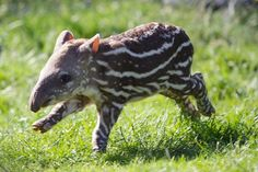 Dublin Zoo is celebrating the birth of a Brazilian Tapir! Brazilian Tapirs are listed as Vulnerable on the International Union for Conservation of Nature's Red List of Threatened Species, due to deforestation and hunting.