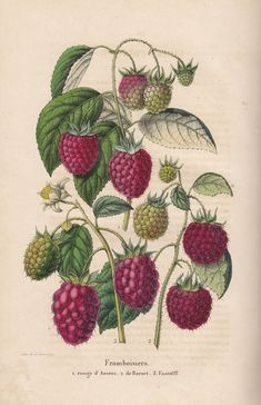 Vintage Illustration Raspberries Hand Towel - Raspberry from Belgian book Belgique Horticole by Charles Morren Liege Art And Illustration, Old Illustrations, Vintage Botanical Prints, Botanical Drawings, Vintage Prints, Vintage Botanical Illustration, Images Vintage, Vintage Diy, Botanical Flowers