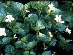 Viola canadensis (Canadian white violet) Vick, Albert F. Black Walnut Tree, Seed Bank, Shades Of White, Violets, Native Plants, Shrubs, Gardening Tips, Wild Flowers, Virginia