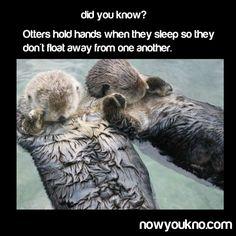 Otters sleep holding hands
