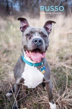 02/06/16 SL~~~01/02/16 SL~~~Belleville, MI * Meet RUSSO, an adoptable Pit Bull Terrier looking for a forever home. If you're looking for a new pet to adopt or want information on how to get involved with adoptable pets, Petfinder.com is a great resource.