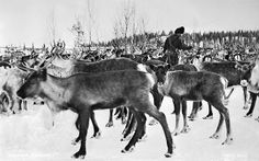 Reindeer, Jukkasjärvi, Lappland, Sweden | Flickr - Photo Sharing! So fun to come across a picture from Jukkaskärvi!! Didn't know the world knew that it even existed!;)