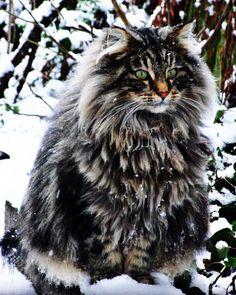 Ten Great Cat Breeds for Kids Pretty Cats, Beautiful Cats, Cute Cats, Beautiful Things, Why Do Cats Purr, Cats And Kittens, Long Haired Cats, Siberian Cat, Norwegian Forest Cat