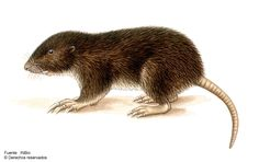 Chiriqui Pocket Gopher (Orthogeomys cavator)