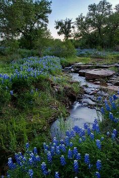 Bluebonnets and stream - Texas Hill Country
