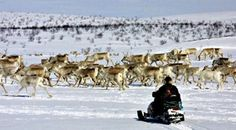 Reindeer herding using the modern method