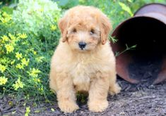 This very playful Miniature Labradoodle puppy will do well in any family environment. This cutie pie is super social, sweet as pie and is looking for her Puppies Puppies, Puppies For Sale, Miniature Australian Labradoodle, Cute Animals, Bubbles, Miniatures, Health, Dogs, Pretty Animals
