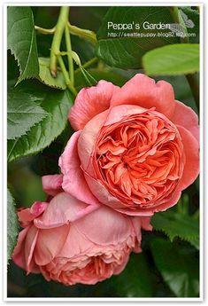 """Summer Song"" (Austango), David Austin Rose~Image © Peppamama. http://seattlepuppy.blog82.fc2.com/blog-entry-388.html"