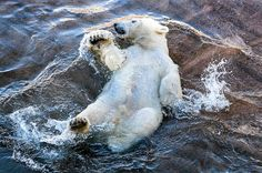 The almost 10-month-old polar bear cub at Ranua Zoo, Finland, has been named Ranzo :)