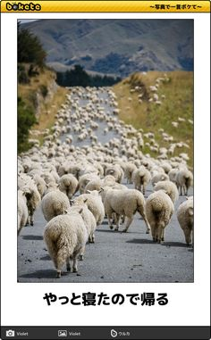 Schaf Sheep Mouton Pecora * Traffic jam by Mathieu Savaria Farm Animals, Animals And Pets, Cute Animals, Beautiful Creatures, Animals Beautiful, Sheep And Lamb, New Zealand Travel, Tier Fotos, Wild Life