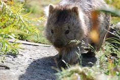 Kingdom Animalia, Wombat (by Raniformis)