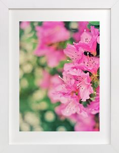 Azaleas by Catherine Culvenor at minted.com