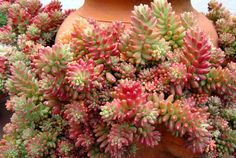 12 Weird Succulents that will BLOW your MIND - Good Plant Stuff Succulents Online, Growing Succulents, Rare Succulents, Planting Succulents, Planting Flowers, Hydrangea Paniculata, Cool Plants, Live Plants, Different Types Of Succulents