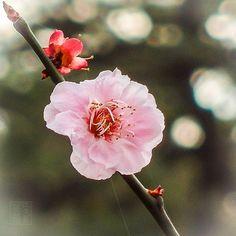 #flower #flowerphotography #macro #macrophotography #ume #plumblossom #梅#うめ#梅の花