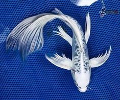 """Koi fish are the domesticated variety of common carp. Actually, the word """"koi"""" comes from the Japanese word that means """"carp"""". Outdoor koi ponds are relaxing. Fish Pond Gardens, Fish Garden, Koi Fish Pond, Fish Ponds, Koi Fish Drawing, Fish Drawings, Koy Fish, Fish Fin, Butterfly Koi"""