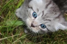 Sensationell !!! BKH Kitten im Whiskaslook Steinau an der Straße | markt.de (e98e3a0a)