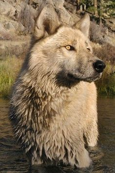 wolf / photography of animals / black and white. hims so serious puurrtyyy. Wolf Photos, Wolf Pictures, Animal Pictures, Beautiful Creatures, Animals Beautiful, Cute Animals, Wild Animals, Wolf Spirit, My Spirit Animal