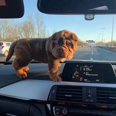 14 Adorable Facts About Shar-Peis Cute Dogs Breeds, Cute Dogs And Puppies, Baby Puppies, Dog Breeds, Cutest Dogs, Cute Funny Animals, Cute Baby Animals, Cute Cats, Funny Dogs