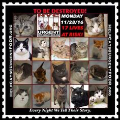 "TO BE DESTROYED 11/28/16 - - Info  Please Share:Please share View tonight's list here: http://nyccats.urgentpodr.org/tbd-cats-page/  The shelter closes at 8pm. Go to the ACC website( http:/www.nycacc.org/PublicAtRisk.htm) ASAP to adopt a PUBLIC LIST cat (noted with a ""P"" on their profile) and/or … CLICK HERE FOR ADD...-  Click for info & Current Status: http://nyccats.urgentpodr.org/to-be-destroyed-091716/"