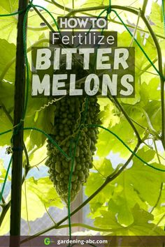 What are the best fertilizers for a bitter melon plant? A closer look into how to feed your bitter melons. Bitter Melon, Growing Veggies, Plants, Plant, Planets
