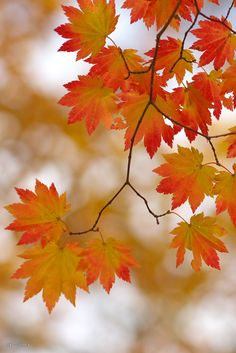 """maple pattern"" by Sky-Genta on Flickr ~ Maple leaves in autumn are gorgeous!"