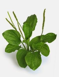 Piharatamo Ratamon lehdet sisältävät mm. lima- aineita, parkkiaineita, flovonoideja, allantoiinia (auttaa kudosten paranemisessa), auku...