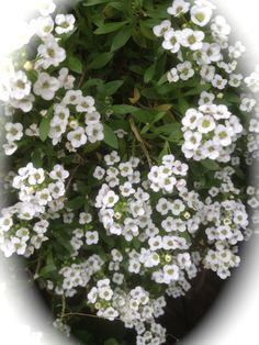 """My Alyssum is looking great  """"The most versatile edging plant—easy, fast, dainty and dense. Flowers continuously with a delicious fragrance.lifecycle: Annual   Uses: Beds, Container   Sun: Full Sun, Part Sun   Height: 4  inches'"""
