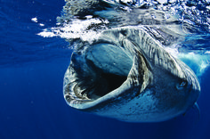 whale shark diving in Mexico?