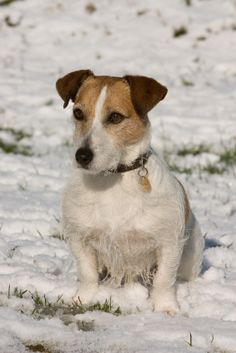 What Are Jack Russell Terriers Compatible With?