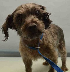 SUPER URGENT  Manhattan center MOJO – A1101502  NEUTERED MALE, GRAY / BLACK, YORKSHIRE TERR / SCHNAUZER MIN, 10 yrs OWNER SUR – EVALUATE, HOLD FOR ID Reason PET HEALTH Intake condition EXAM REQ Intake Date 01/13/2017  http://nycdogs.urgentpodr.org/mojo-a1101502/