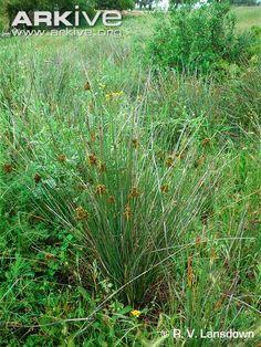 Spiny rush in habitat
