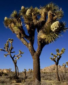 Joshua Tree National Park, California. Photo by Michael Melford.