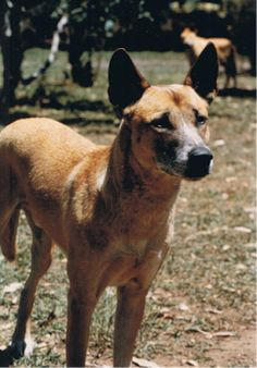 Dingo Lady: The Truth about Dingoes 15: Bringing back the ding...