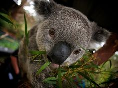 Koala, Australia.   Cute!
