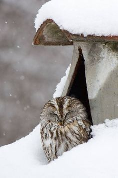 Tawny Owl in snow - fascinating creatures Beautiful Owl, Animals Beautiful, Cute Animals, Simply Beautiful, Owl Bird, Pet Birds, Strix Aluco, Tawny Owl, Snowy Day