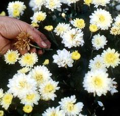 10 Tips for Purchasing & Caring for Fall Mums - My Tuesday {ten} No. 14 - bystephanielynn